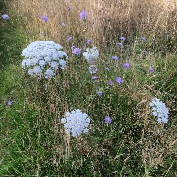 Wild carrot and Field Scabious